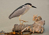 NIGHT HERON ON DRIFTWOOD 3828 - I captured shots of this night heron one early morn as it stood on the railing of the Santa Monica Pier.