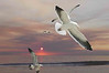 Gulls #058 & Sunset