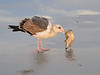 GULL-WITH-SHELL-&-SHADOW-SMUG500-