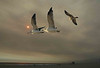 GULLS-#0025+SMOKY-SUNSET-