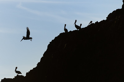 """Pelicans In Silhouette""  (#AN111)"