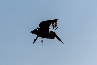 """Pelican Silhouette""  (#AN110)"