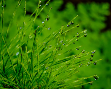 """""""Pine Needles And Morning Dew""""  (#OR312)"""