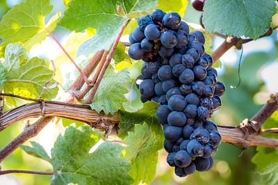 """Pinot Meunier Grapes""  (#WF705)"