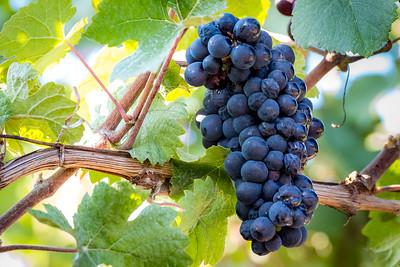 """""""Pinot Meunier Grapes""""  (#WF705)"""
