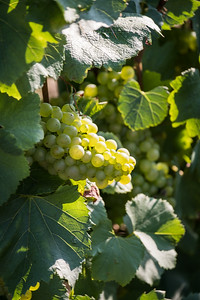 """Chardonnay On The Vine""  (#WF703)"
