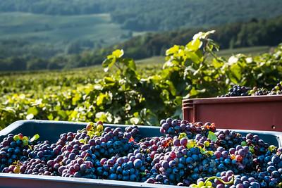 """Champagne Harvest""  (#WF702)"