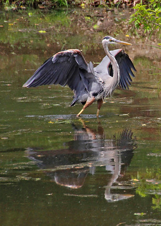 Great blue heron preening