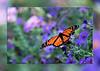 monarch-card
