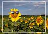 20-07-19-sunflower-6512-5x7-4card