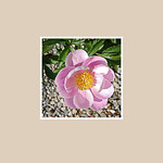 Gails Square 5x5 Flower / Garden : These are catalog entries for ordering purposes only. Square cards are a press product with no inscription inside. Choose your item numbers and let us know quantities by email. richarddalby@gmail.com