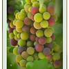 """""""Change is Good,"""" Backyard Vineyard, California"""