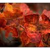 Autumn Colors,     Backyard Vineyard, California