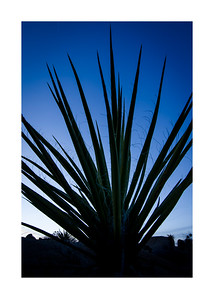 Mojave Yucca Silhouette