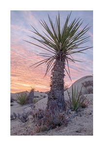 Mojave Yucca Sunrise Portrait