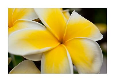 Yellow Caribbean Flower