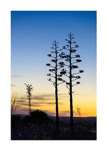 Yucca Stalk Silhouette