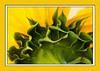 75H0908310626CardSunflowerBack