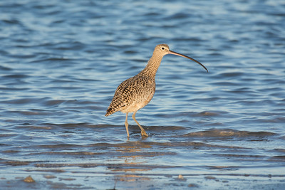 Long- billed Curlew