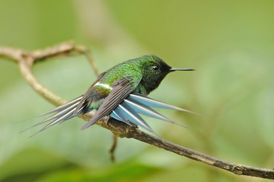 Green Thorntail December 31, 2012 Buenaventure Ecuador