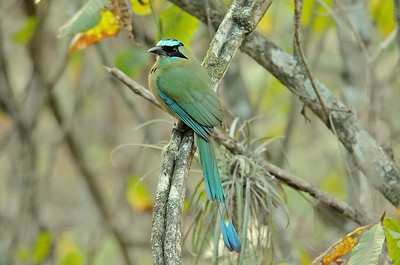 Blue-crowned Motmot January 9, 2013 Jorupe Ecuador