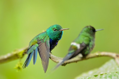 Violet-bellied Hummingbird (staring down a Green Thorntail) December 31, 2012 Buenaventura Ecuador