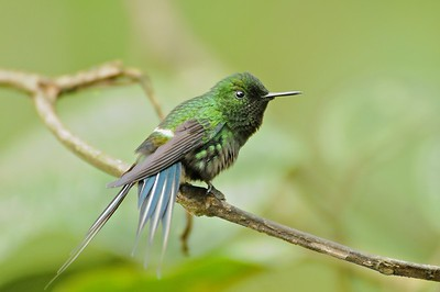 Green Thorntail December 31, 2012 Buenaventura Ecuador