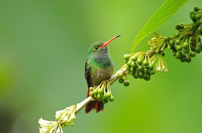 Rufous-tailed Hummingbird Mindo, Ecuador