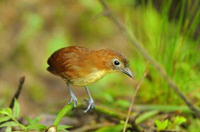 Yellow-breasted Antpitta Paz de las Aves