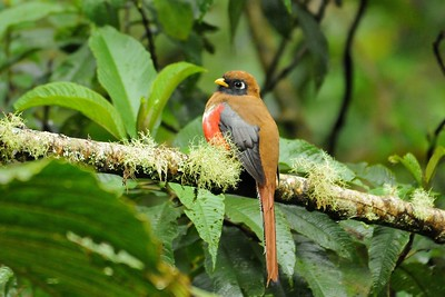 Masked Trogon Guango, Ecuador