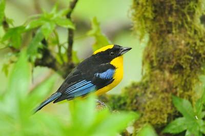 Blue-winged Mountain Tanager Las Gralarias, Ecuador