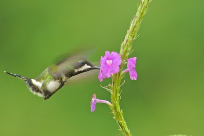 Green Thorntail Milpe Bird Sanctuary, Ecuador