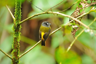 Ornate Flycatcher Milpe Bird Sanctuary, Ecuador