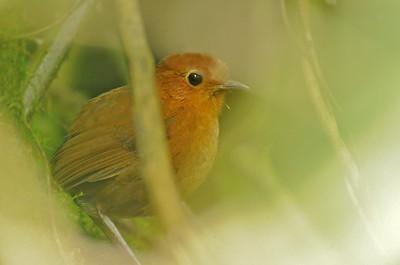 Rusty Antpitta Pasochoa Reserve, Ecuador