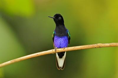 Velvet-Purple Coronet Las Gralarias, Ecuador