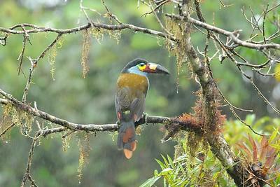 Plate-billed Mountain Toucan Las Gralarias Reserve