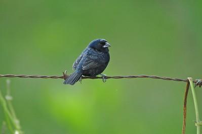 Blue-black Grassquit Mindo, Ecuador