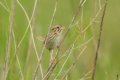 Henslow's Sparrow
