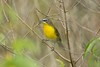 Yellow-beasted Chat
