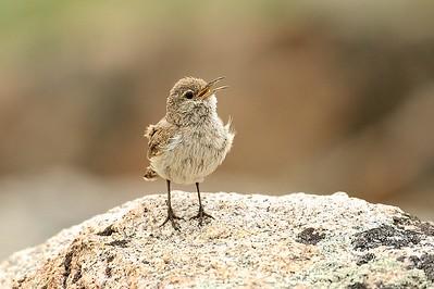 Rock Wren
