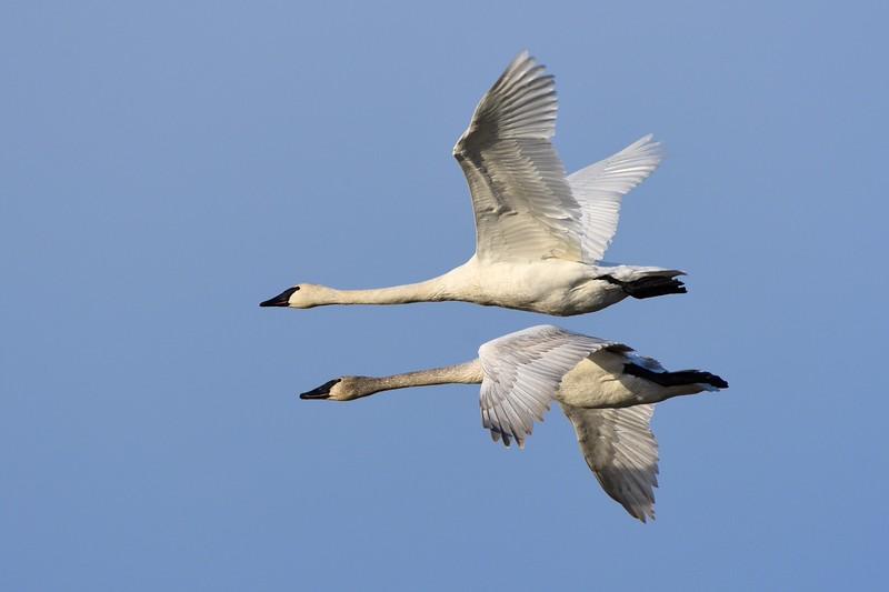 Trumpeter Swan 3
