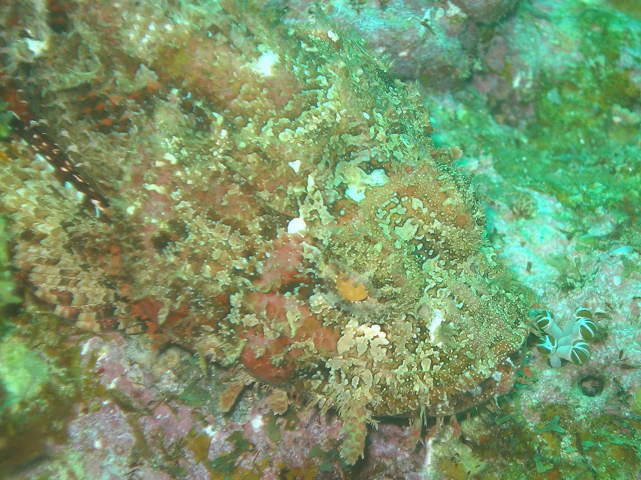Spotted scorpionfish - can you see it?