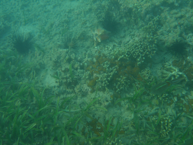 Caribbean reef squid (at the right side)