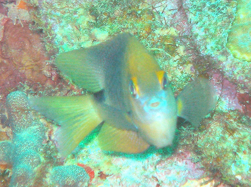 Damselfish, not sure what kind...