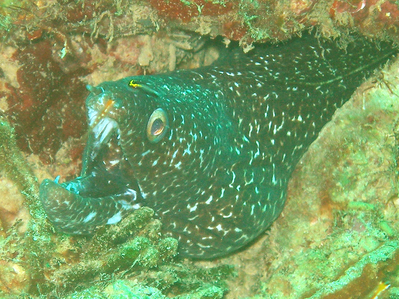Spotted moray eel getting cleaned