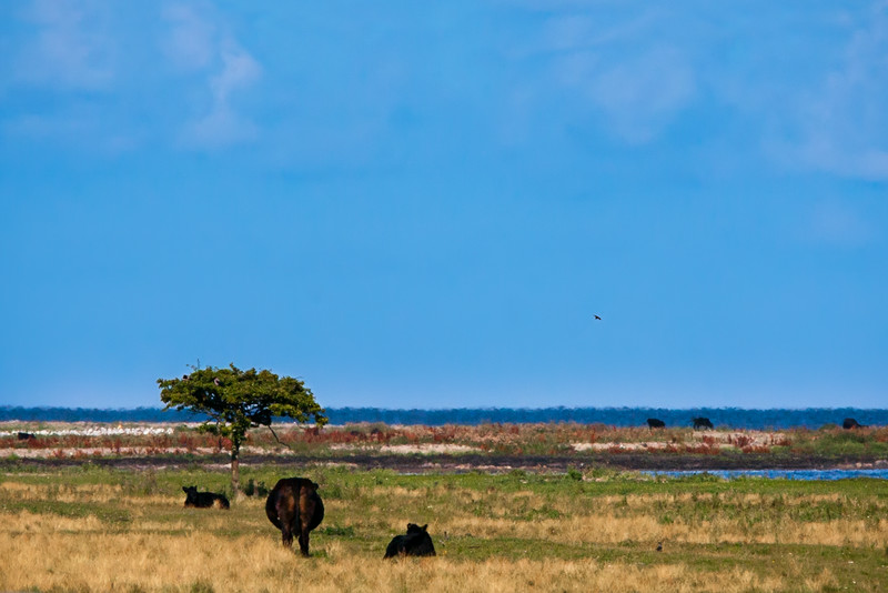 Cows and the Ocean