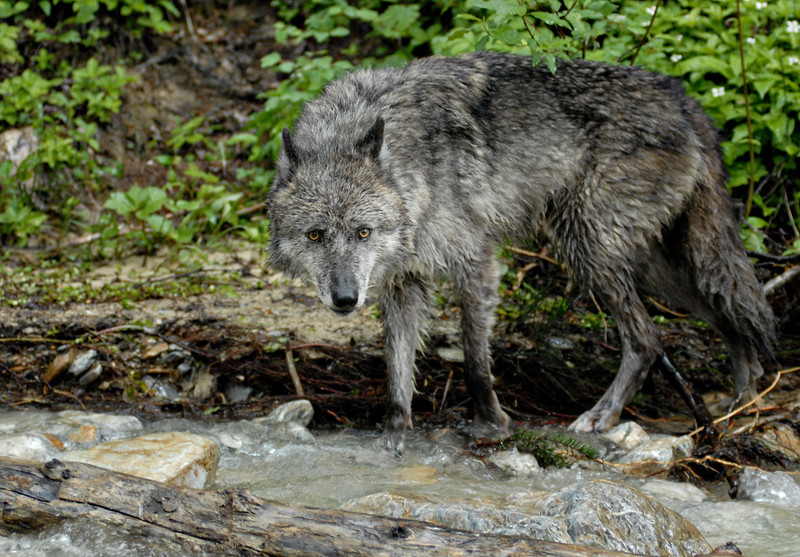 A wet gray wolf along  a river