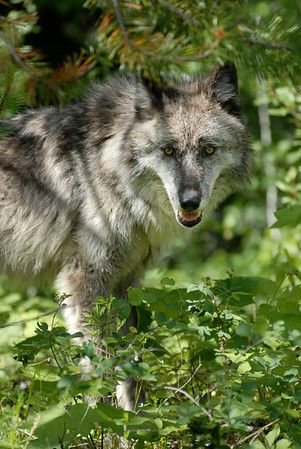 wolf framed by leaves