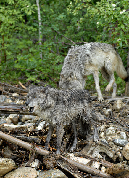 Two gray wolves - one is howling