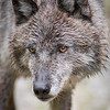 A closeup of a gray  wolf #2